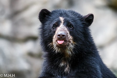Andean Bear Cub (m_hamad) Tags: bear park usa nature beauty canon outdoors zoo washingtondc dc farm wildlife explore nationalzoo nationalgeographic spectacledbear greatnature naturebeauty supershot 70d andeanbear ultimateshot dazzlingshot blinkagain andeanbearcub instagramapp