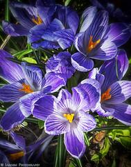 Too Early Spring Crocuses (mjardeen) Tags: blue flower yellow early washington spring purple sony crocus os wa tacoma february f4 2470mm a7ii