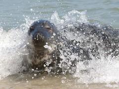 541 grijze zeehond of kegelrob, Halichoerus grypus, gray seal, Kegelrobbe, phoque gris