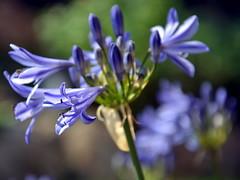 Schmucklilie (manuela1970) Tags: flower sommer blumen lila garten lilie gudensberg weis schmucklilie chattengau