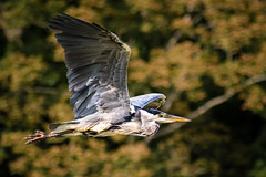 Heron in flight (John P Norton) Tags: bird heron wales fauna manual f56 bif birdinflight 70300mmf456 stackpoleestate 11250sec focallength300mm nikond750 copyright2015johnnorton