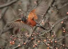 American Robin (hennessy.barb) Tags: robin americanrobin turdusmigratorius berries bradfordpear feeding