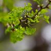 Guirlande (Bloui) Tags: 2016 botanicalgarden eos7d jardinbotanique jardinjaponais may spring montréal québec tree leaves ginko green