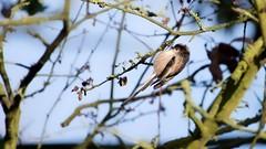 Long-tailed Tit (Aegithalos caudatus) (jhureley1977) Tags: birds birdsofbritain britishbirds birding ashjhureley avibase naturesvoice rspbbirders bbcspringwatch bbcwinterwatch rspbryemeads rspb ashutoshjhureley longtailedtit aegithaloscaudatus
