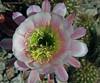 Echinopsis grandiflorus hybrid (l.e.violett) Tags: cactus flower cultivated echinopsis grandiflorus hybrid macro pse