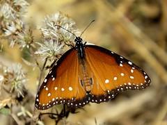 Her highness - Queen (Danaus gilippus) butterfly, Harshaw Creek area, Tucson, Nov 2016 (Judith B. Gandy) Tags: danaus butterflies arizona insects invertebrates lepidoptera tucson danausgilippus harshawroad queenbutterflies
