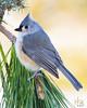Tufted Titmouse (H. Fox) Tags: nature backyardbirds birds kentucky pinetree closeup tuftedtitmouse winter2017