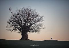 Pair (Dan Portch) Tags: deer deerling tree morning knole knolepark sevenoaks se sevenoaksknolepark kent national trust silhouette wildlife