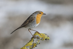 Last of Year 2016 (jrosvic) Tags: robin birds bird erithacusrubecola nikond2xs nikonafs300mmf4 sierraespuña murcia totana spain aves hide ornithology ornitología pájaro