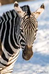 Equus quagga boehmi / Grant's zebra / Зебра Гранта / Grant-zebra (Svitlana Tkach) Tags: equus quagga boehmi grants zebra зебра гранта grantzebra østafrikansk бурчеллова лошади лошадиные непарнокопытные млекопитающие hippotigris equidae perissodactyla mammalia copenhagen zoo копенгагенский зоопарк