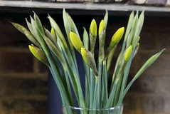 Daffs Timelapse (DaveStrong) Tags: timelapse time lapse canon 5d 5dii 5dmarkii mark ii markii 2 24105l 24105 24105mm 24105mml intervalometer flowers flower opening vase video animation stop motion yellow daffodil daffodils spring