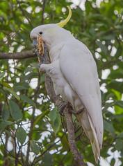 Backyard Cockatoo (S♡C) Tags: cockatoo sulphurcrestedcockatoo australia parrot wild nature native