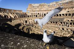 Las Aves del Coliseo (davidcabrerafotografia) Tags: roma italia viajes city ciudad rome italy gaviota europe monumental monument