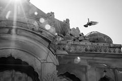 Pigeons in Bada Bagh, Jaisalmer, India ジャイサルメール バダ・バーグの鳩 (travelingmipo) Tags: travel photo india asia 旅行 写真 インド アジア rajasthan ラジャスタン ラジャスターン goldencity ゴールデン・シティ jaisalmer ジャイサルメール badabagh barabagh バダ・バーグ architecture cenotaph chhatri arch dome decoration decorative pavilion monument sunlight