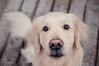 Mino | January 2017 (CarolinGreif-Fotografie) Tags: hund puppy nikon d700 goldenretriever sweet dog