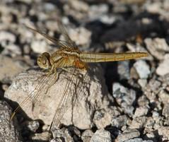Broad Scarlet (Crocothemis erythraea) Female (Rezamink) Tags: crocothemiserythraea broadscarlet dragonflies uae odonata