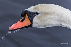 Swan after a Dive (Tigermoto) Tags: swan bird sigma sport handheld hand held 150600mm hollingworth lake hollingworthlake littleborough nature canon 6d