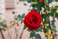 I See You (DVchigarev) Tags: rose nature flower red colors beauty sochi russia canon 70d sigma 35mm 14 macro smooth flo green lalala 2017 plant depth field bouquet