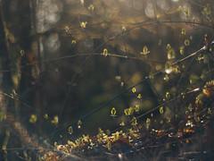 Honeysuckle Haze (i-r-paulus) Tags: honeysuckle leaves light delicate haze sunlight dartmoor legacylens