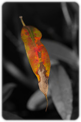 Autumn Leaf (Craig Jewell Photography) Tags: autumn desaturate dry fall garden isolated leaf macro monochrome orange selectivedesaturation yellow ¹⁄₄₀₀₀sec f71 ‒1ev canoneos5dmarkii iso800 20100712182104mg8394cr2 craigjewell