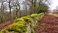 Mossy (Englepip) Tags: wall mossy greentrees forest bowland lancashire stone perspective leadingline landscape outdoor misty lines bracken brown green grey uk winter