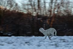 On the run  -  #explore (iLaura_LauraRabachin) Tags: pecora agnello corsa sheep lamb run