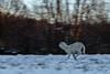 On the run (iLaura_LauraRabachin) Tags: pecora agnello corsa sheep lamb run