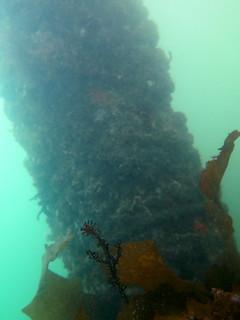 Ornate Ghost Pipefish-Solenostomus paradoxus