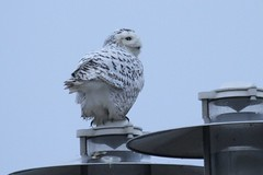Snowy Owl on a foggy evening (Rita Wiskowski) Tags: snowyowl lakeexpressferry ferry owl white winter nature urbanwildlife lakemichigan milwaukee wisconsin milwaukeecounty explored streetlamp