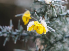 Icy Gorse flower (dave p brecks) Tags: day21 gorse frosty nature olympus60mmmacro olympusem10markii