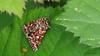 Heidekraut-Bunteule (Anarta (Anarta) myrtilli) auch Heidekrauteulchen genannt (Oerliuschi) Tags: heidekrautbunteule nachtfalter schmetterling butterfly natur wiese gras falter fluginsekt