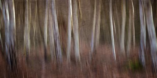 Birch on Bracken