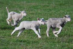 On the run_Wheaton_DSC_0392_2_D (renrut01) Tags: awn australian wool network kangaroo island sheep american river lambs running mob coast scenic
