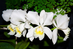 CW251 Longwood Gardens Flowers (listentoreason) Tags: usa white plant orchid flower color nature america canon unitedstates pennsylvania favorites places orchidaceae longwoodgardens floweringplant angiospermae monocot liliopsida magnoliophyta angiosperm score35 ef28135mmf3556isusm asparagales plantpart