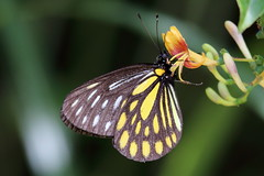 Aporia agathon moltrechti (female)  () (YoyoFreelance) Tags: aporia agathon moltrechti