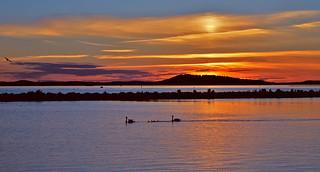 Mute Swans life. #Sunset on the lake Vesijärvi. Finland