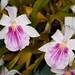 Miltonia hybrid – Cher Whelan