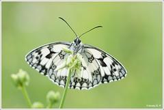 Papillon (Valoc'h) Tags: france macro nature butterfly reflex nikon flickr bokeh sigma os papillon dslr amateur 31 garonne ff français flou insecte pattes haute matin ailes photographe matinal 105mm d600 boitier antennes hsm 10528 valoch
