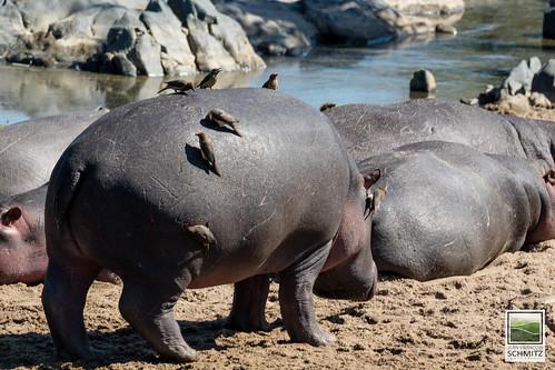 Hippos at Serengeti National Park - © 2015 Jean-François Schmitz