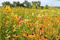 prairie color near Lime Springs IA IMG_0694 (lreis_naturalist) Tags: county howard reis iowa larry springs lime prairie tallgrass