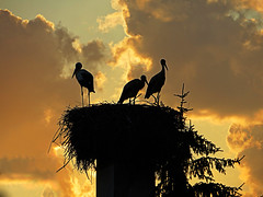 IMG_4982 sunset storks (pinktigger) Tags: stork cigea storch cicogne ooievaar cicogna cegonha bird nature fagagna feagne friuli italy italia oasideiquadris clouds sunset sky chimney nest ruby10 ruby15 ruby20