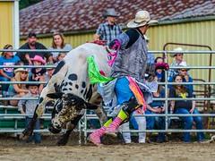 DSC_1879 ts (Photos by Kathy) Tags: bulls rodeo bullriding bullfighters foxhollowrodeo