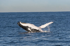 Humpback (autrant) Tags: animal nikon sydney humpback whalewatchingcruise nikond750 afsnikkor28300mm13556gvr