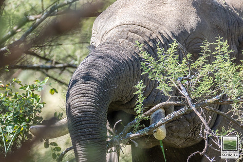 Elephant feeding on Acacia at Serengeti National Park - © 2015 Jean-François Schmitz