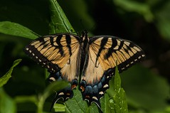 2015  Eastern Tiger Swallowtail (Pterourus glaucus) 2 (DrLensCap) Tags: park chicago robert nature butterfly insect illinois big village tiger ngc north center il eastern kramer swallowtail glaucus pterourus