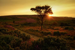 Lone Tree Heather Sunset, Exmoor, UK (EmPhoto.) Tags: heather moorland exmoor uk landscape sunset goldenlight lonetree wild unspoiled emmiejgee landscapepassion latesummer sonya7r sonyzeiss2470mm nationalpark