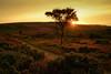 Lone Tree Heather Sunset, Exmoor, UK (EmPhoto.) Tags: heather moorland exmoor uk landscape sunset goldenlight lonetree wild unspoiled emmiejgee landscapepassion latesummer sonya7r sonyzeiss2470mm nationalpark