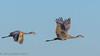 Celery Fields Sandhill Cranes 12-31-2016  (4 of 4) (Jerry's Wild Life) Tags: celeryfields crane florida sandhill sandhillcrane sandhillcranes sarasota sarasotacounty