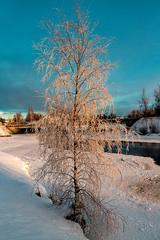 Iisalmi (Tuomo Lindfors) Tags: iisalmi suomi finland topazlabs clarity dxo filmpack pakkanen frost paloisvirta koivu birch theacademytreealley myiisalmi