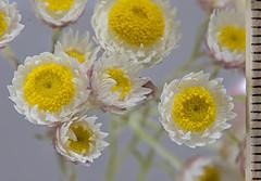 Waitzia citrina 1 (brundrett) Tags: everlasting daisy yellow shite pink spring annual